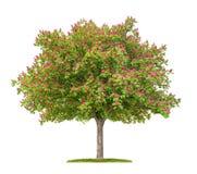 开花的红色欧洲七叶树树 免版税库存图片