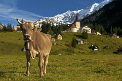 吃草在一个高山牧场地的母牛 免版税图库摄影