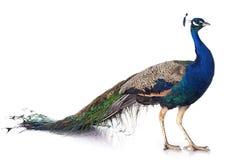 孔雀 免版税图库摄影