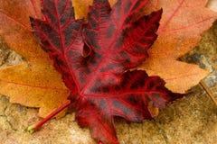 вектор красного цвета клена листьев графиков Стоковые Изображения