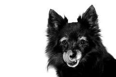 черная собака Стоковые Изображения