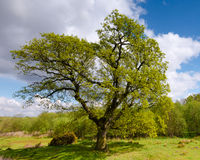 大橡树在春天 库存照片