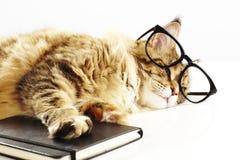 缅因与玻璃和书的树狸猫 免版税图库摄影