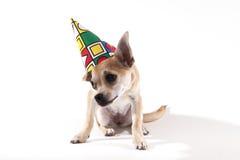 奇瓦瓦狗 免版税图库摄影