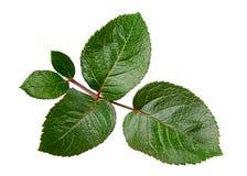 绿色玫瑰叶子 免版税库存图片