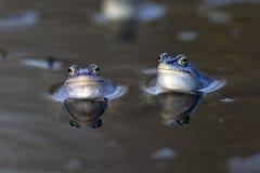 停泊在狂放的青蛙 库存图片
