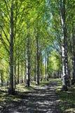 白杨树森林 免版税库存照片