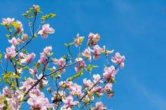 美丽的桃红色木兰开花开花 免版税图库摄影