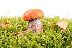 橙色盖帽蘑菇 免版税库存照片