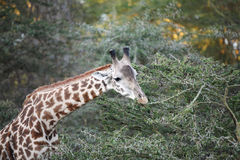 美丽的长颈鹿特写镜头  库存图片