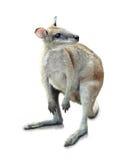 袋鼠 免版税图库摄影