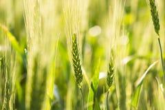 年轻绿色麦子茎 库存图片