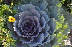 λάχανο διακοσμητικό Στοκ Εικόνες