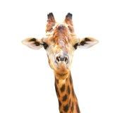 长颈鹿特写镜头纵向 图库摄影