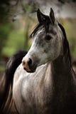 灰色马 免版税库存照片