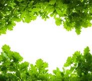 Δρύινα φύλλα δέντρων που απομονώνονται Στοκ εικόνα με δικαίωμα ελεύθερης χρήσης