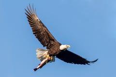 летание облыселого орла Стоковые Фото