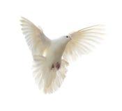 Άσπρο περιστέρι Στοκ φωτογραφία με δικαίωμα ελεύθερης χρήσης