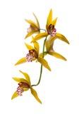 Пожелтейте орхидею Стоковые Фото
