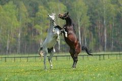两匹战斗的马 库存图片