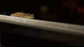 古巴青蛙结构树 免版税库存照片