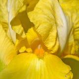 Κίτρινη μακροεντολή λουλουδιών ίριδων Στοκ φωτογραφία με δικαίωμα ελεύθερης χρήσης