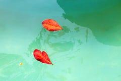 在水的红色叶子 免版税库存图片