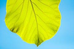 反对蓝天的绿色柚木树叶子 免版税图库摄影