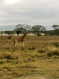 长颈鹿在一多云天 库存图片