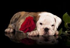 英国牛头犬和红色玫瑰 免版税库存图片