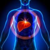 Печень - мужская анатомия человеческих органов - взгляд рентгеновского снимка Стоковое Изображение RF
