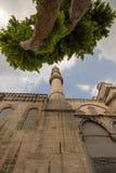Ένα πράσινο με φύλλα δέντρο έξω από το μπλε μουσουλμανικό τέμενος στη Ιστανμπούλ Στοκ Φωτογραφίες