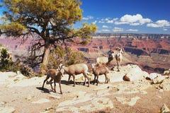 大角羊在大峡谷 免版税库存照片