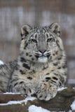豹子雪 免版税库存图片