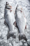 Πέρκες θάλασσας στον πάγο Στοκ φωτογραφίες με δικαίωμα ελεύθερης χρήσης
