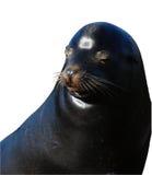 απομονωμένη πρόσωπο σφραγίδα Στοκ Φωτογραφία