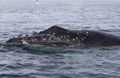 对表面的驼背鲸的顶头流行音乐在水域中 图库摄影