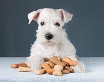 与喂狗的硬饼干骨头的小狗 免版税库存照片