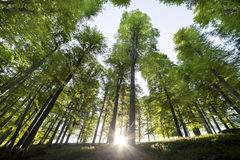 валы снежка природы пущи предпосылок деревянные Предпосылки солнечного света древесной зелени природы Стоковое фото RF