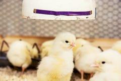 小组黄色小鸡 免版税库存照片