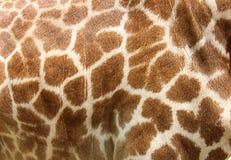 真正长颈鹿皮革皮肤 免版税图库摄影