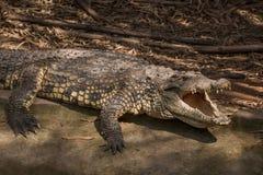 重庆鳄鱼鳄鱼水池中心 库存照片