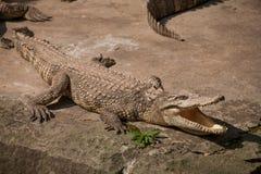 重庆鳄鱼鳄鱼水池中心 免版税库存图片