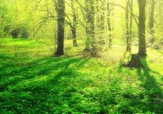 森林焕发 太阳光芒在春天木头的 免版税库存图片