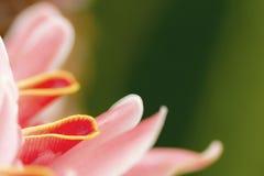 Λουλούδι πιπεροριζών φανών Στοκ Φωτογραφία