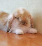 逗人喜爱砍有耳的小兔子 库存图片