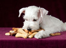 与喂狗的硬饼干骨头的小狗 免版税库存图片