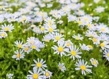 发芽的和开花的蓝色延命菊植物 免版税库存图片