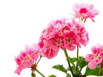 Розовый цветок гераниума (пеларгонии) Стоковое фото RF