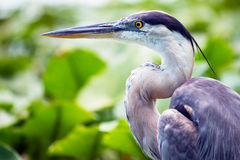 伟大蓝色的苍鹭的巢画象 免版税库存图片